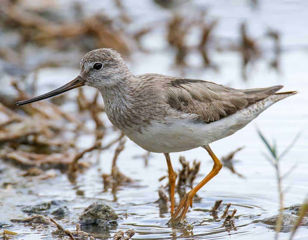 A Terek Sandpiper in breeding plumage standing in shallow water.
