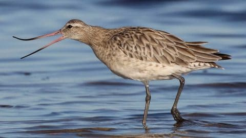 Bar-tailed godwit standing in shallow water with its bill open.