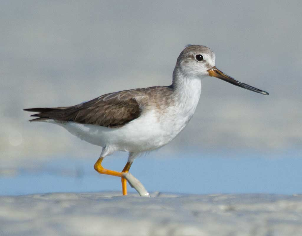 A Terek Sandpiper walking in the mud