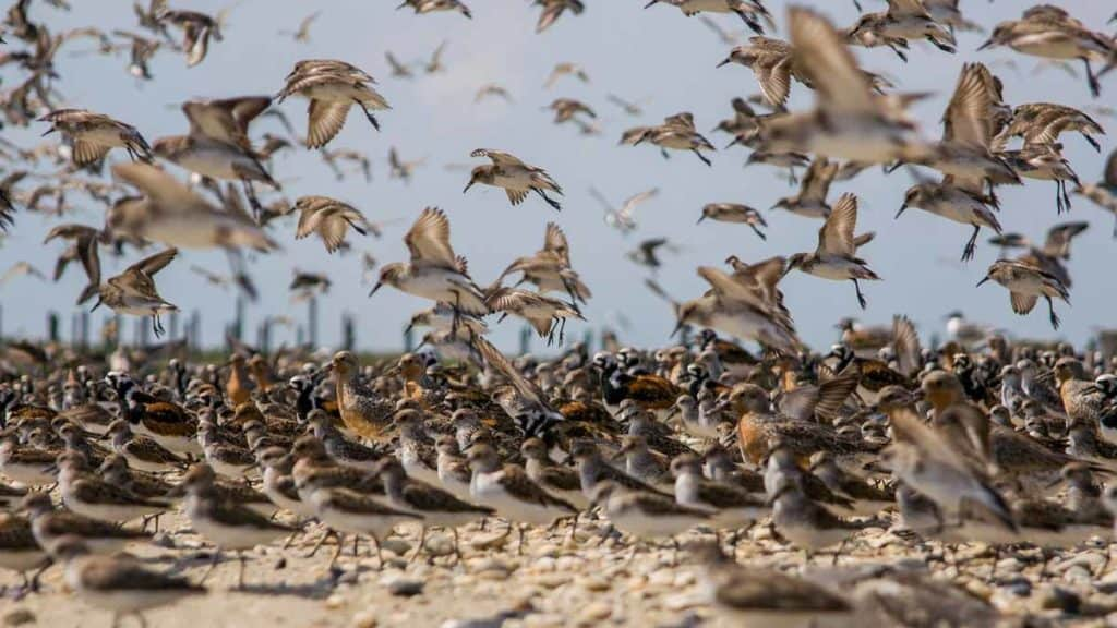 A mixed flock of shorebirds landing on a beach