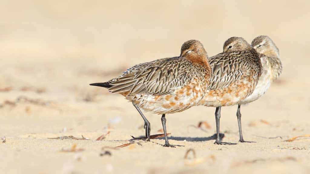 Three Bar-tailed Godwits asleep on the beach