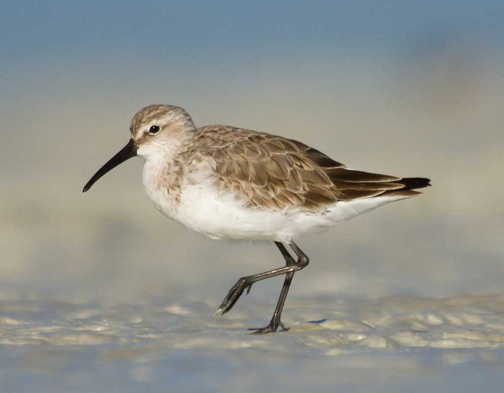 A Curlew Sandpiper standing on the beach