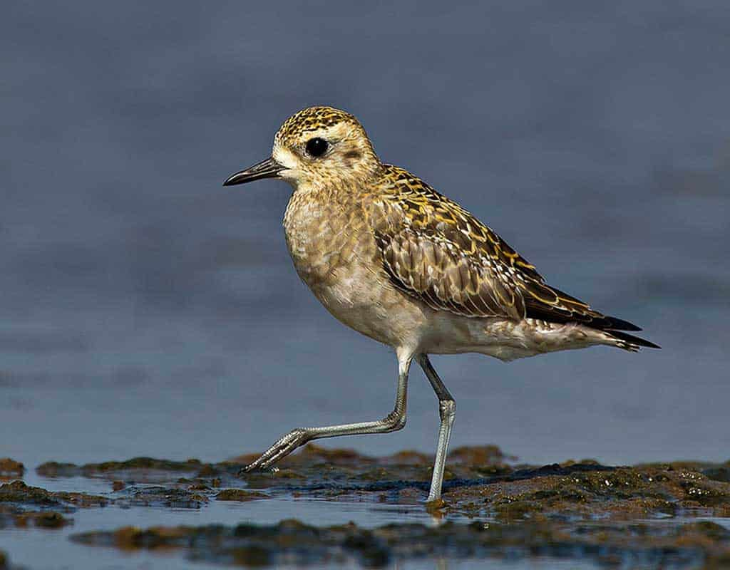 A Pacific Golden Plover on the beach.