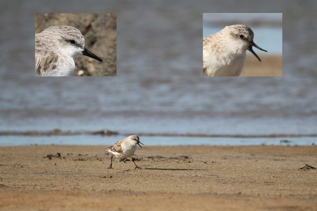Red-necked stint bending its upper mandible up.