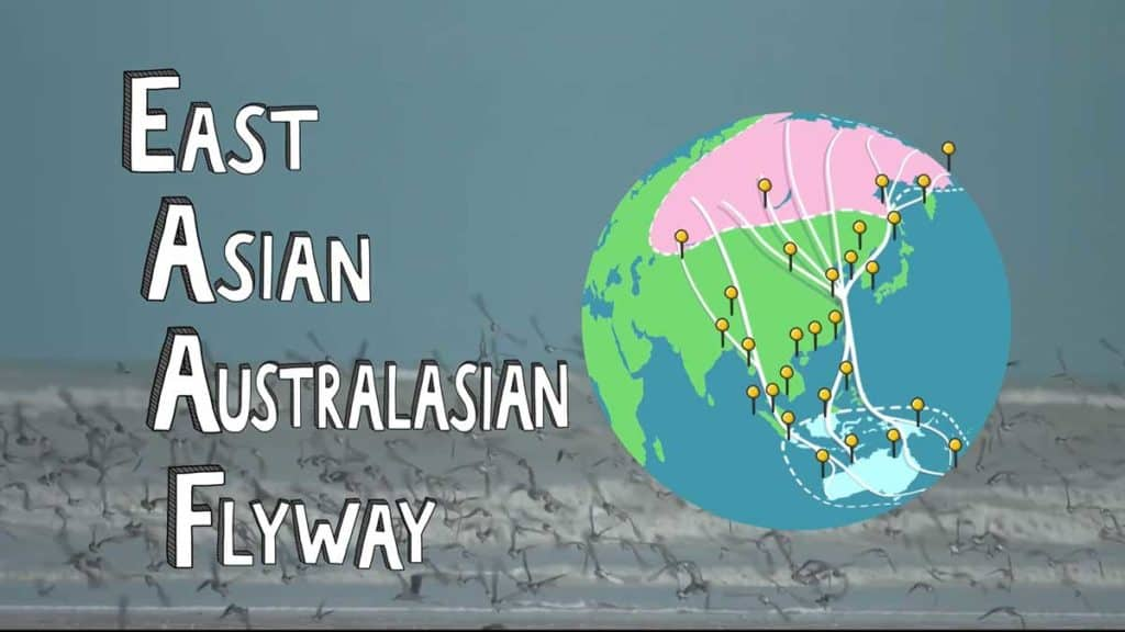 Cartoon map of East Asian-Australasian Flyway with a flock of shorebirds in the background.